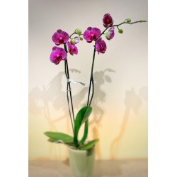 Orchidée fushia