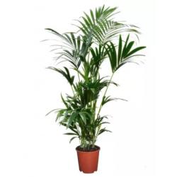 Kentia: palmier d'intérieur