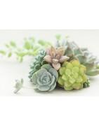 Plantes grasses/succulentes